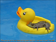 Frog on Duck