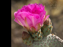 Wallpaper 2- Prickly Pear Cactus